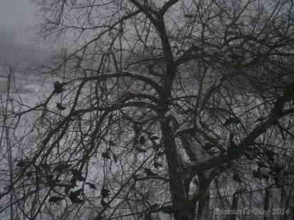 Pomul care face ciori 3
