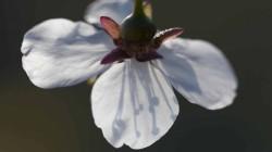 White blossom flowering